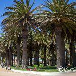 Phoenix Canariensis palms park ross pichilemu