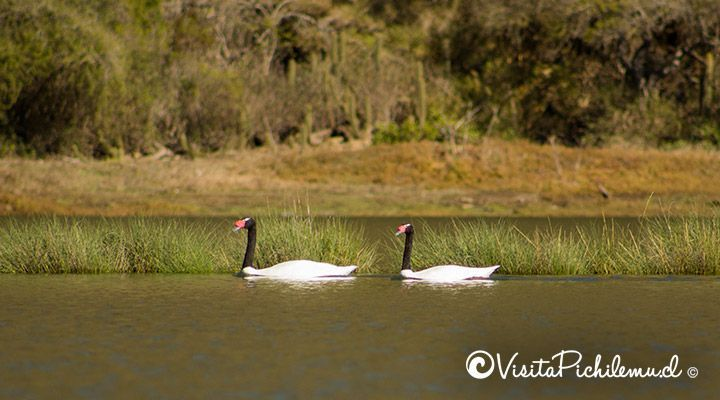 avistamiento cisnes de cuello negro pichilemu