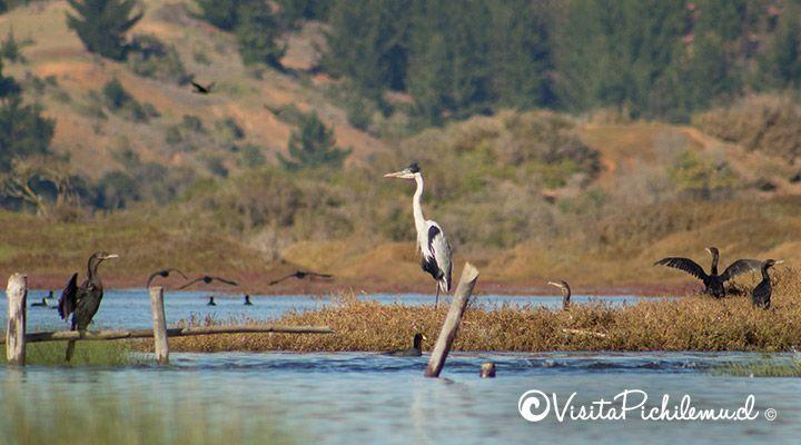 garza cuca avistamiento de aves paseos en kayak cahuil