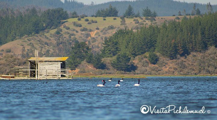 cisnes de cuello negro paseo en kayak salinas de cahuil