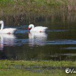 coscoroba swans, cahuil, pichilemu