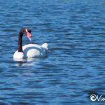 black-necked swan, cahuil, pichilemu