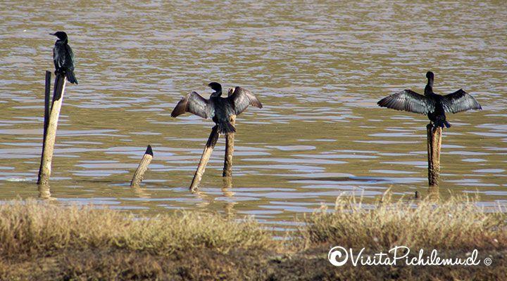 cormoranes secando sus alas en cahuil