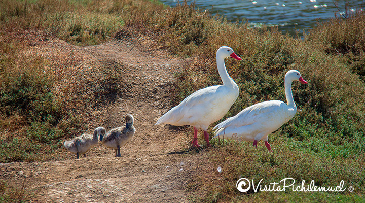 swans-with-your-breedings-Cahuil-pichilemu