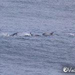 delfines de risso punta de lobos