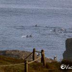 delfines risso en punta de lobos
