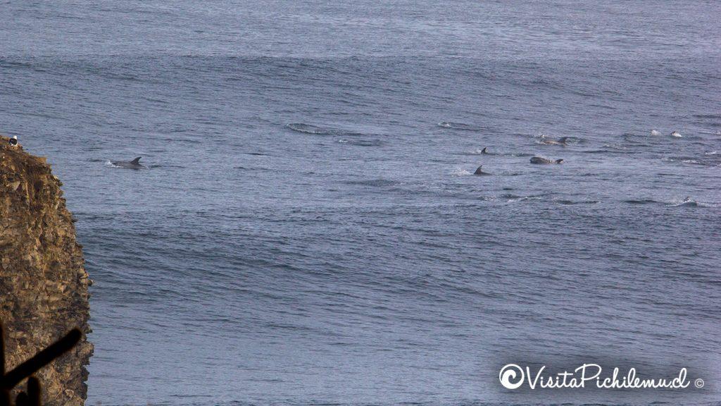 delfines de risso pasando por los morros punta de lobos