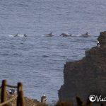 delfines en punta de lobos pichilemu